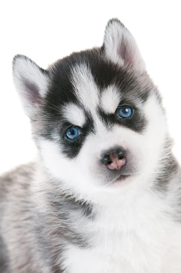 Filhote de cachorro do cão de puxar trenós Siberian com olhos azuis imagem de stock royalty free