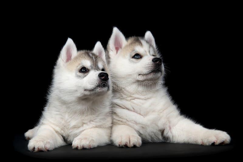 Filhote de cachorro do cão do cão de puxar trenós Siberian imagens de stock royalty free