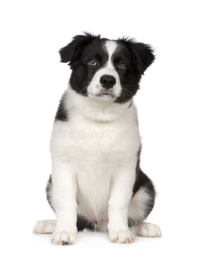 Filhote de cachorro do Collie de beira foto de stock