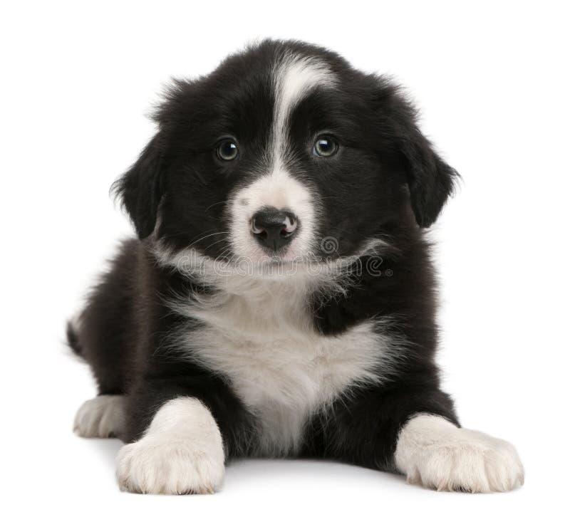 Filhote de cachorro do Collie de beira, 6 semanas velho, encontrando-se foto de stock