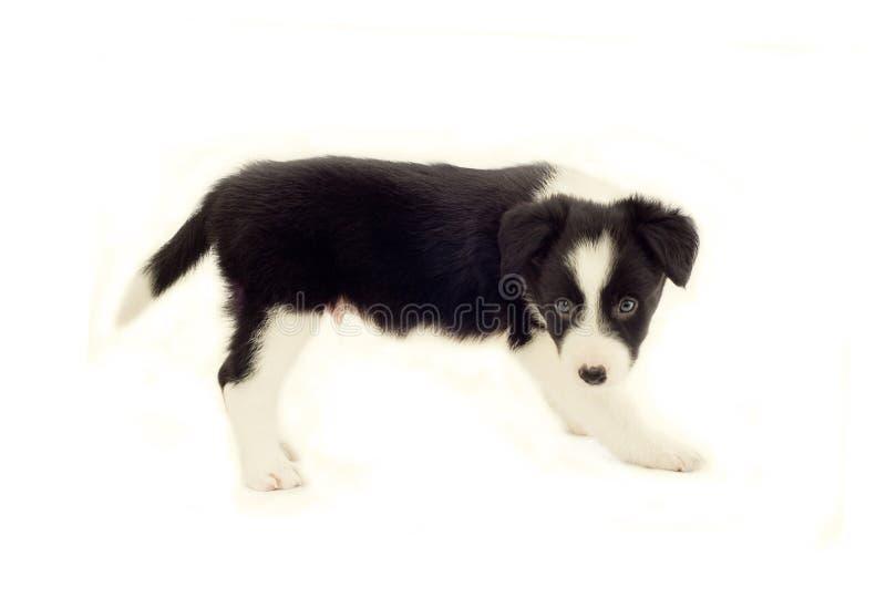 Filhote de cachorro do Collie de beira imagem de stock royalty free