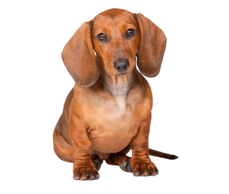 Filhote de cachorro do Dachshund imagens de stock