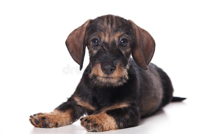 Filhote de cachorro do Dachshund foto de stock