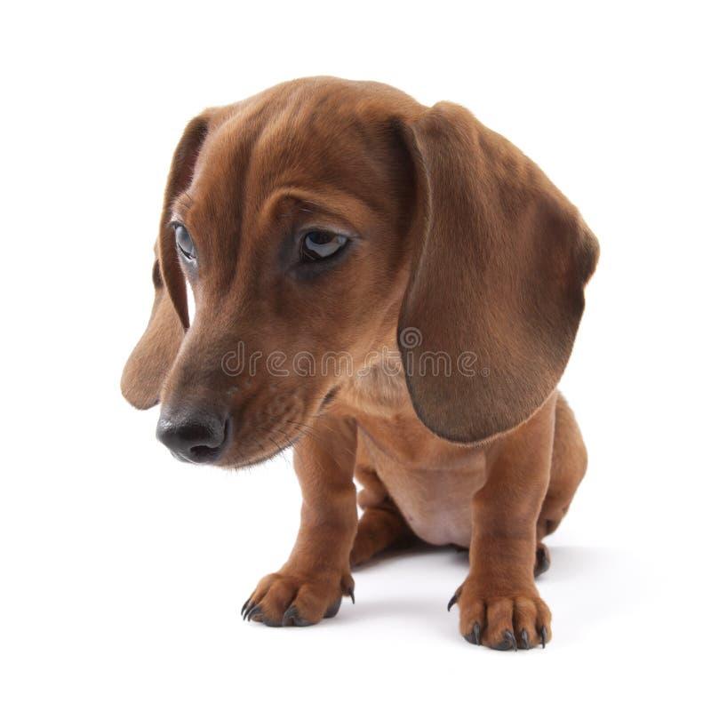Filhote de cachorro do Dachshund, 3 meses velho imagens de stock