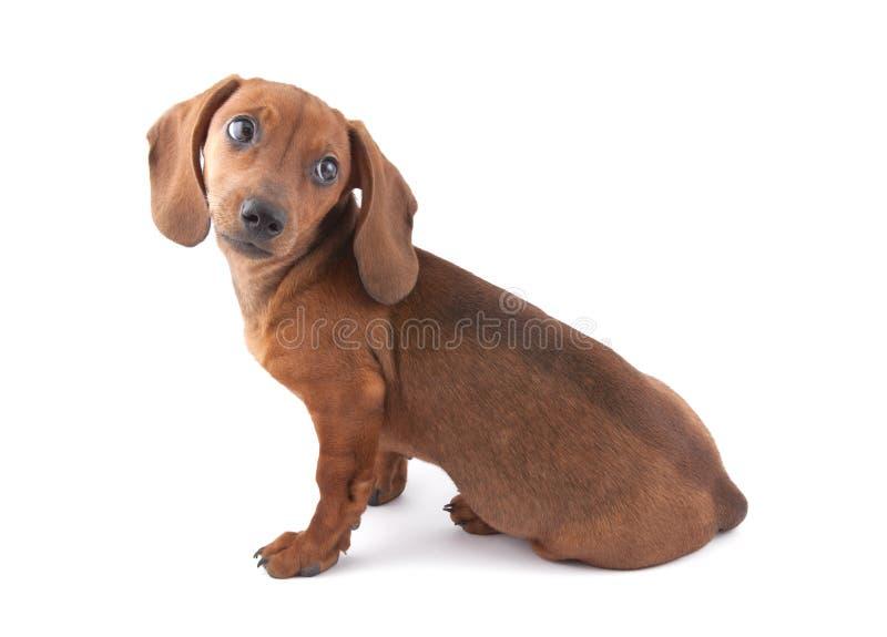 Filhote de cachorro do Dachshund, 3 meses velho foto de stock