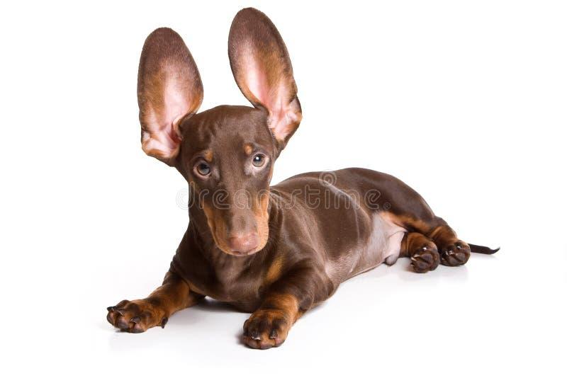 Filhote de cachorro do Dachshund fotos de stock