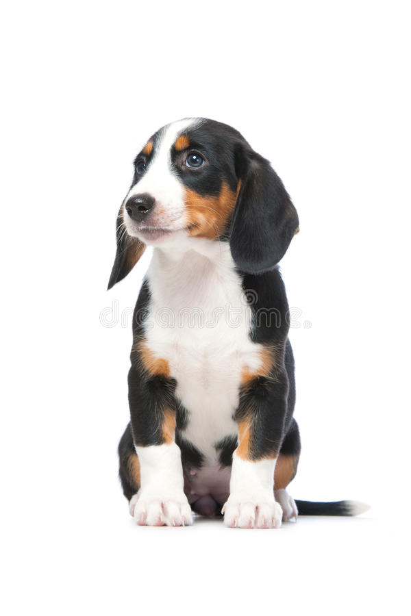 Filhote de cachorro do Dachshund, Dachsbracke Westphalian imagem de stock royalty free