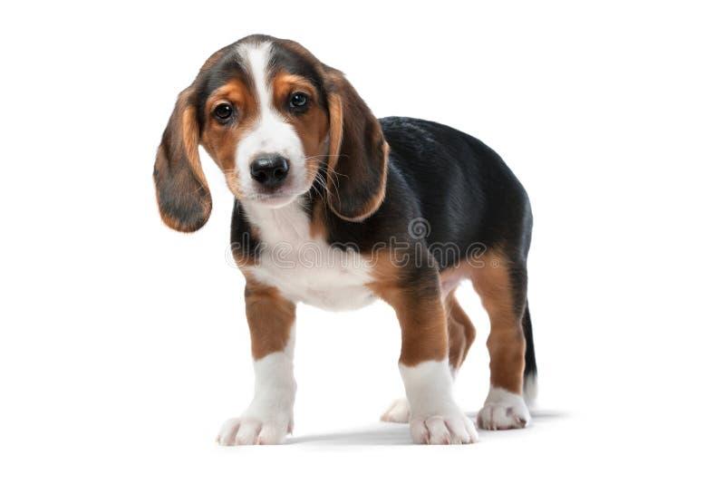Filhote de cachorro do Dachshund, Dachsbracke Westphalian fotos de stock royalty free