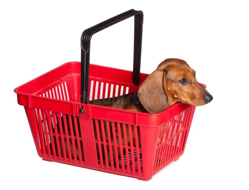 Filhote de cachorro do Dachshund que senta-se na cesta do consumidor fotos de stock
