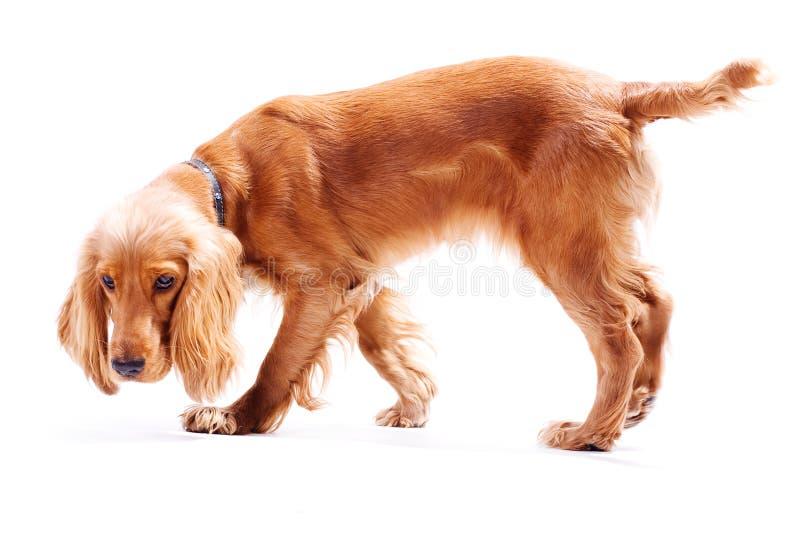 Filhote de cachorro do divertimento isolado imagens de stock royalty free