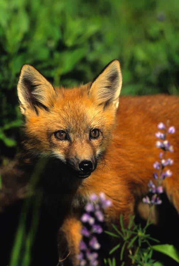 Filhote de cachorro do Fox vermelho nos Wildflowers imagem de stock