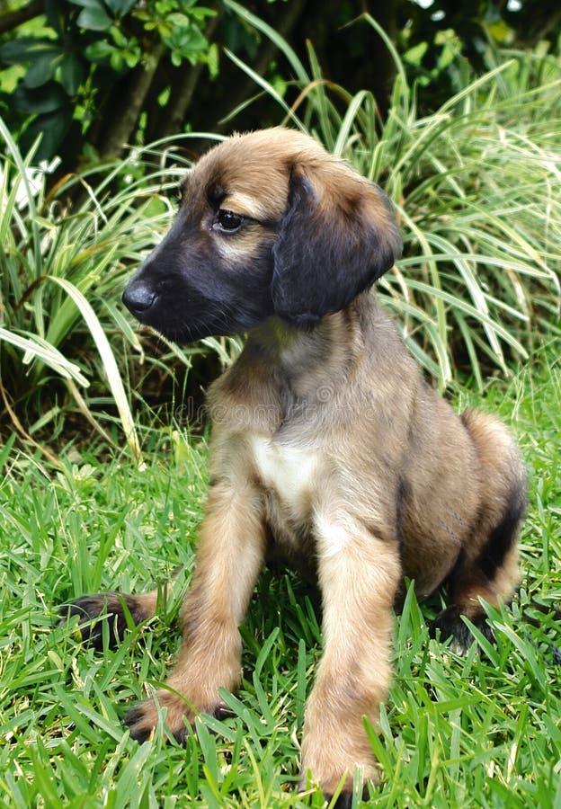 Filhote de cachorro do galgo afegão foto de stock