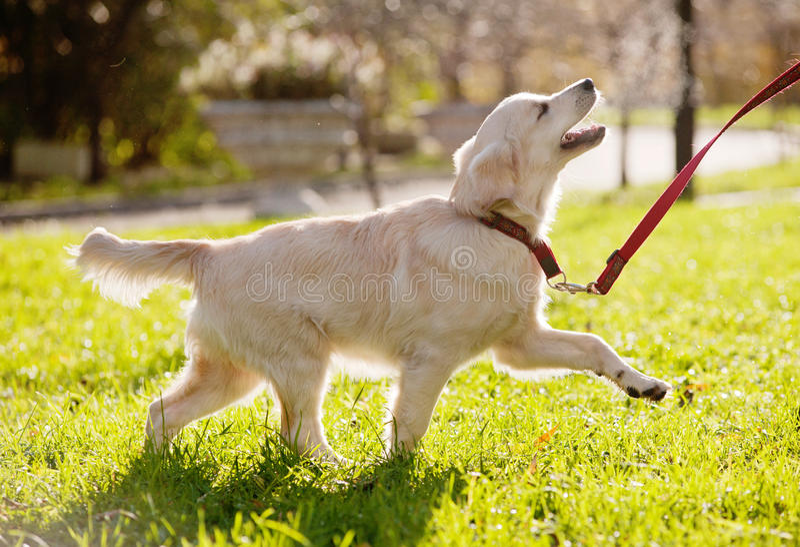 Filhote de cachorro do golden retriever foto de stock royalty free