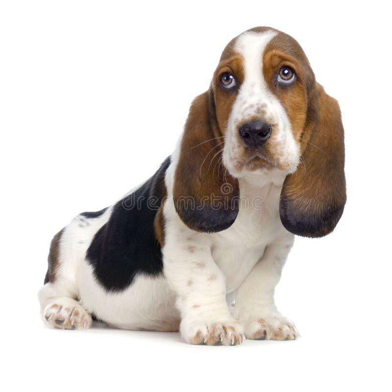 Filhote de cachorro do Hound de Basset fotografia de stock