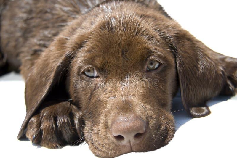 Cachorrinho do laboratório do chocolate imagem de stock
