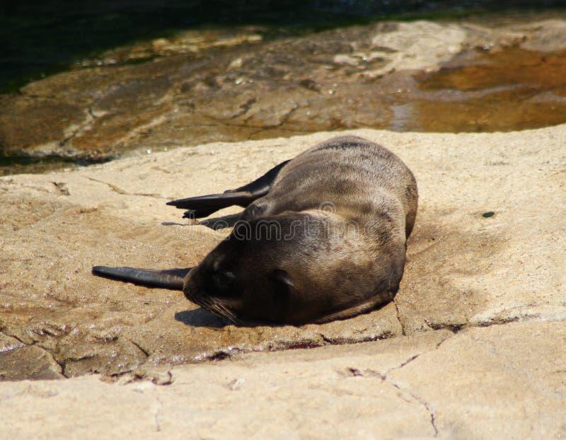 Filhote de cachorro do leão de mar de Califórnia fotografia de stock royalty free