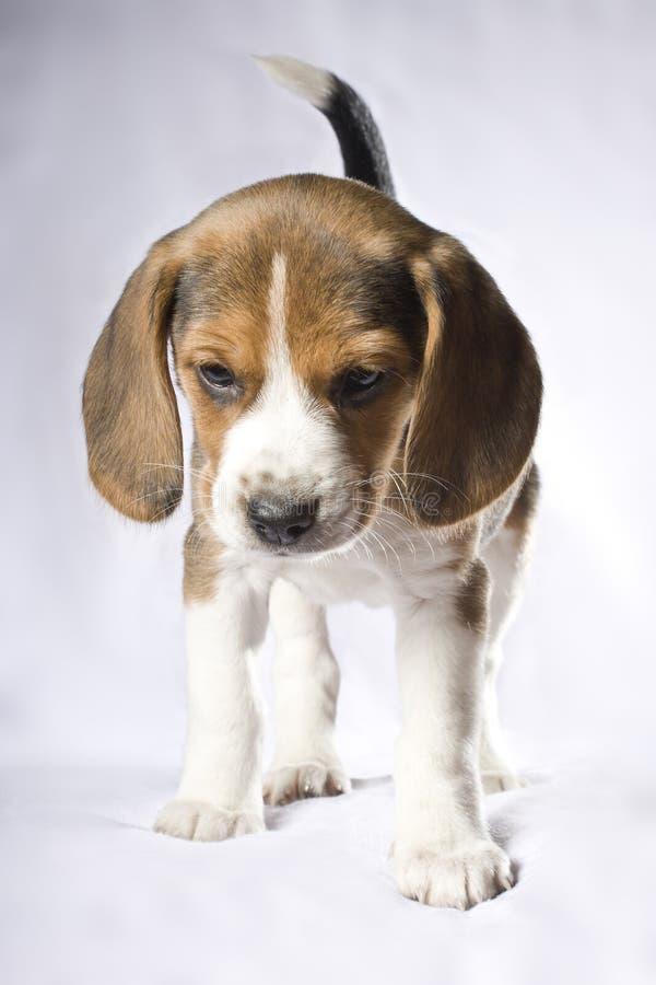 Filhote de cachorro do lebreiro imagens de stock
