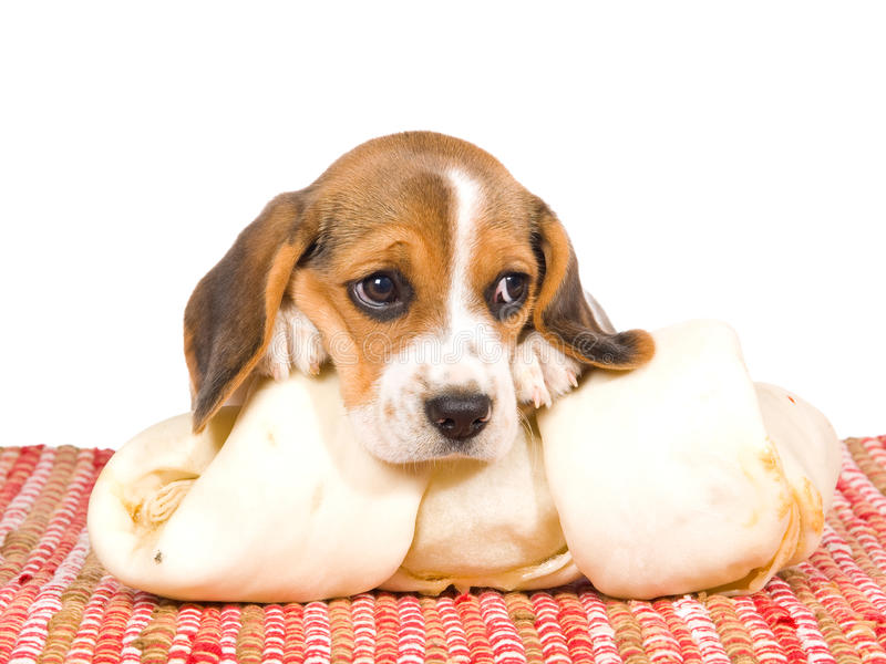 Filhote de cachorro do lebreiro com cabeça no osso foto de stock