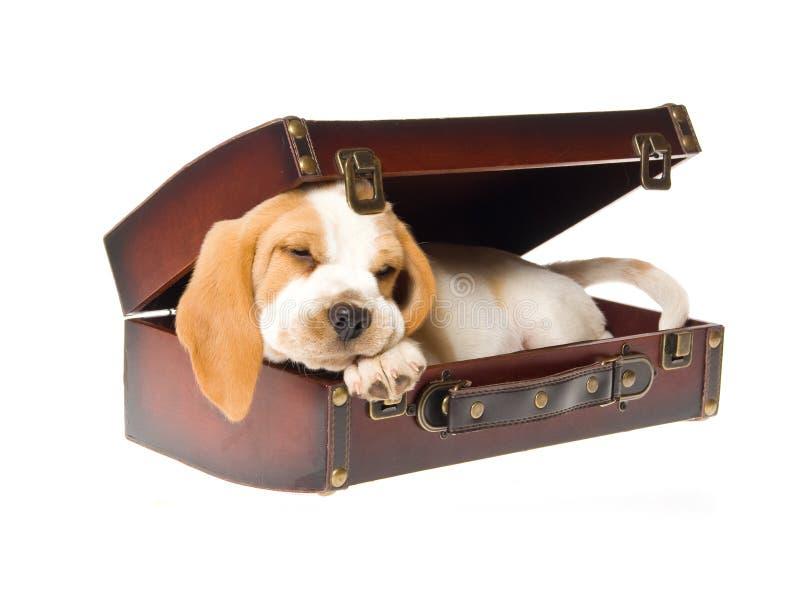 Filhote de cachorro do lebreiro que dorme na mala de viagem marrom fotos de stock royalty free