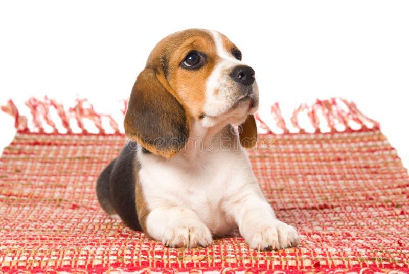 Filhote de cachorro do lebreiro que encontra-se para baixo no tapete tecido vermelho imagem de stock