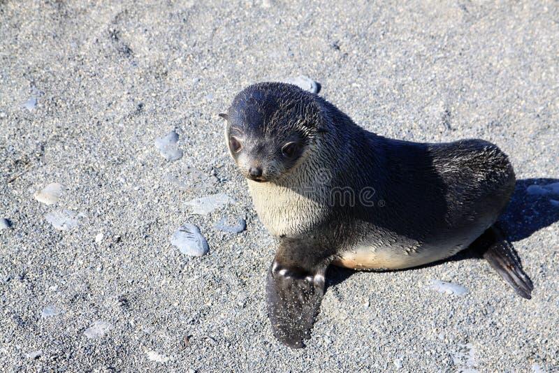Filhote de cachorro do lobo-marinho imagem de stock