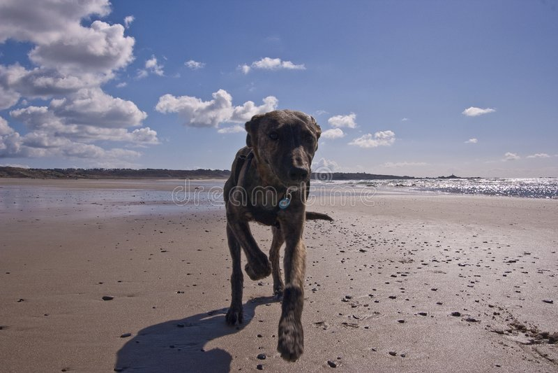 Filhote de cachorro do Lurcher que roda-se à lambedura foto de stock royalty free