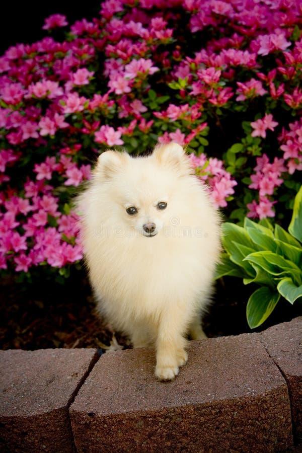 Filhote de cachorro do máximo fotografia de stock