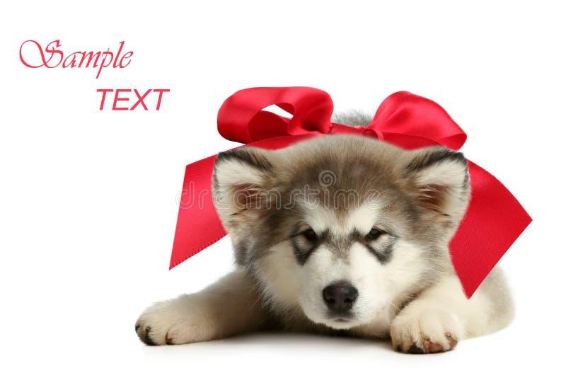 Filhote de cachorro do malamute do Alasca com curva vermelha fotografia de stock royalty free