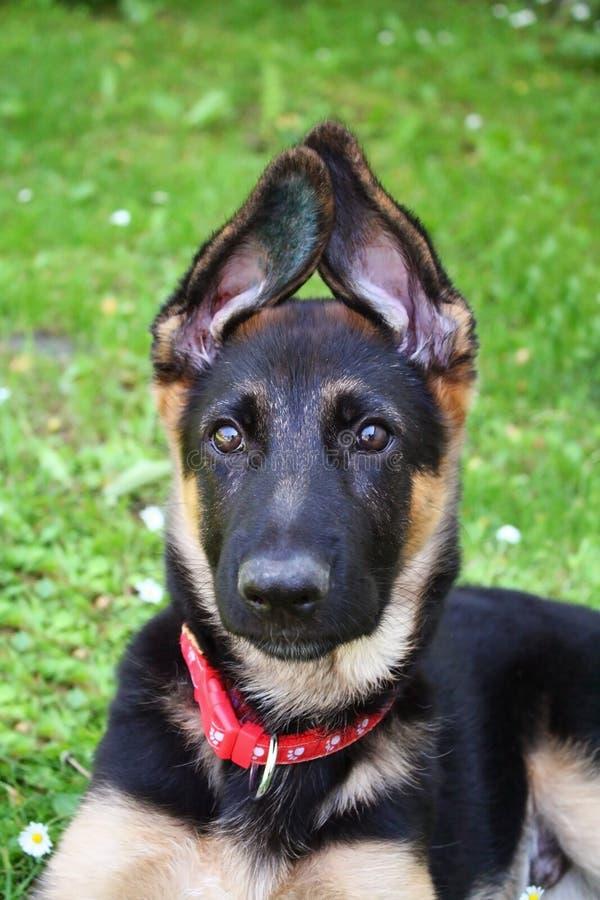 Filhote de cachorro do pastor alemão imagens de stock royalty free