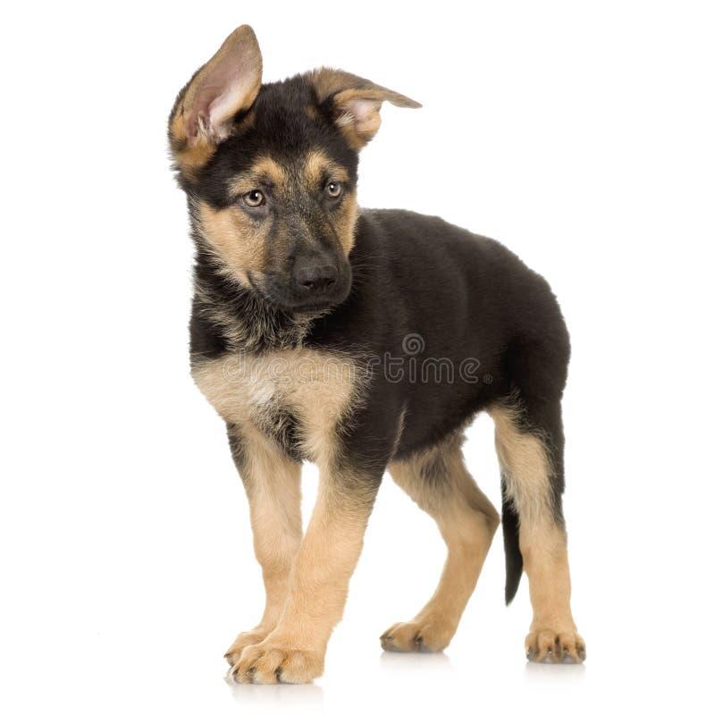 Filhote de cachorro do pastor alemão foto de stock royalty free