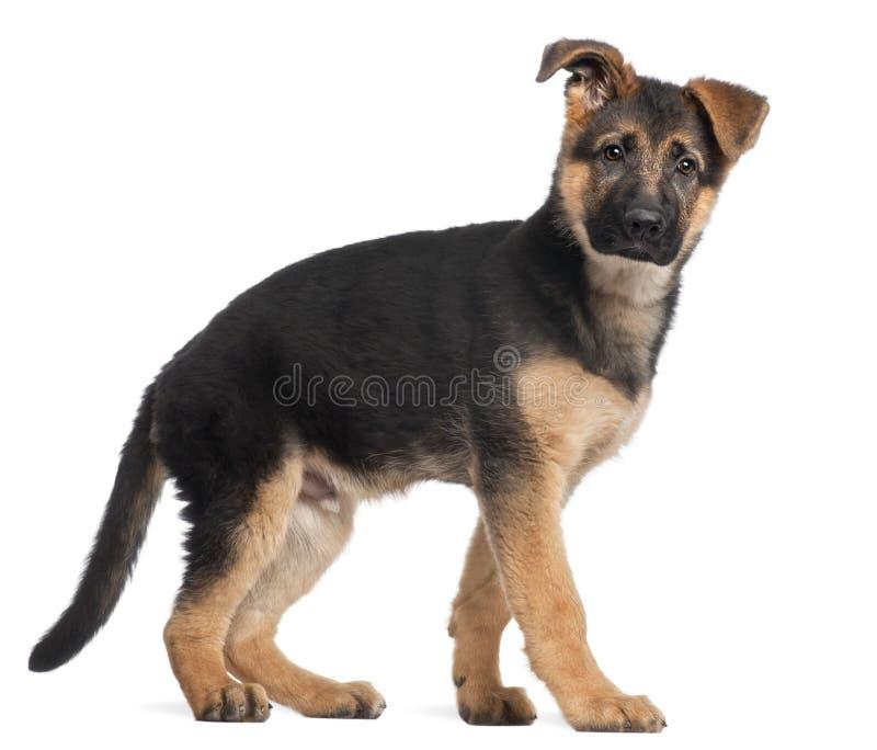 Filhote de cachorro do pastor alemão, 3 meses velho, posição foto de stock royalty free