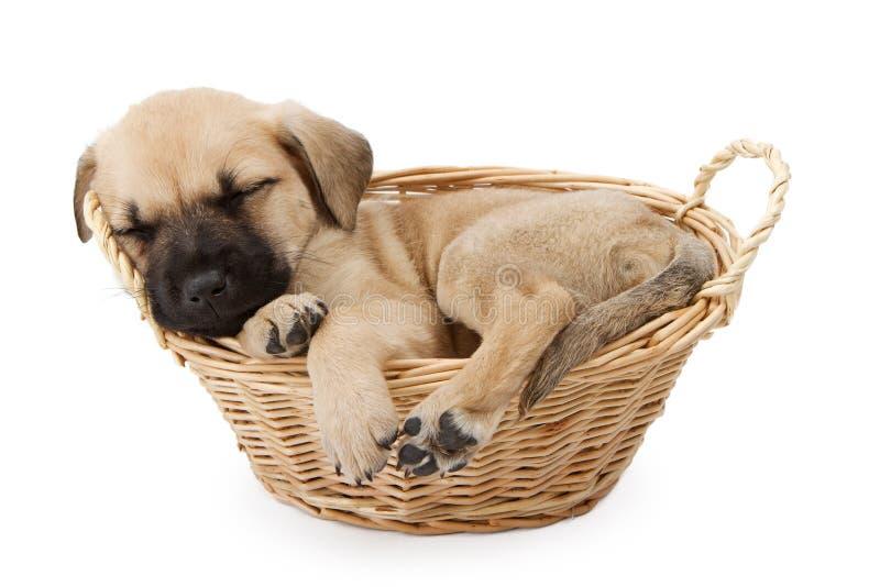 Filhote de cachorro do pastor do sono em uma cesta fotos de stock
