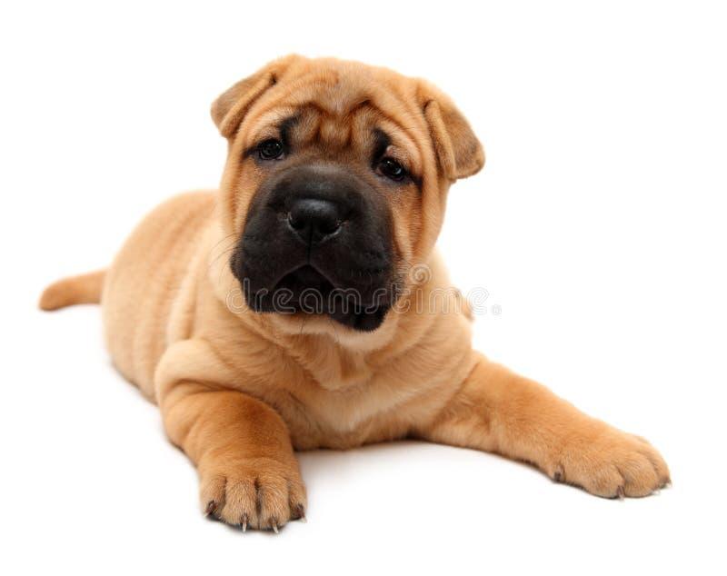 Filhote de cachorro do pei de Shar foto de stock royalty free