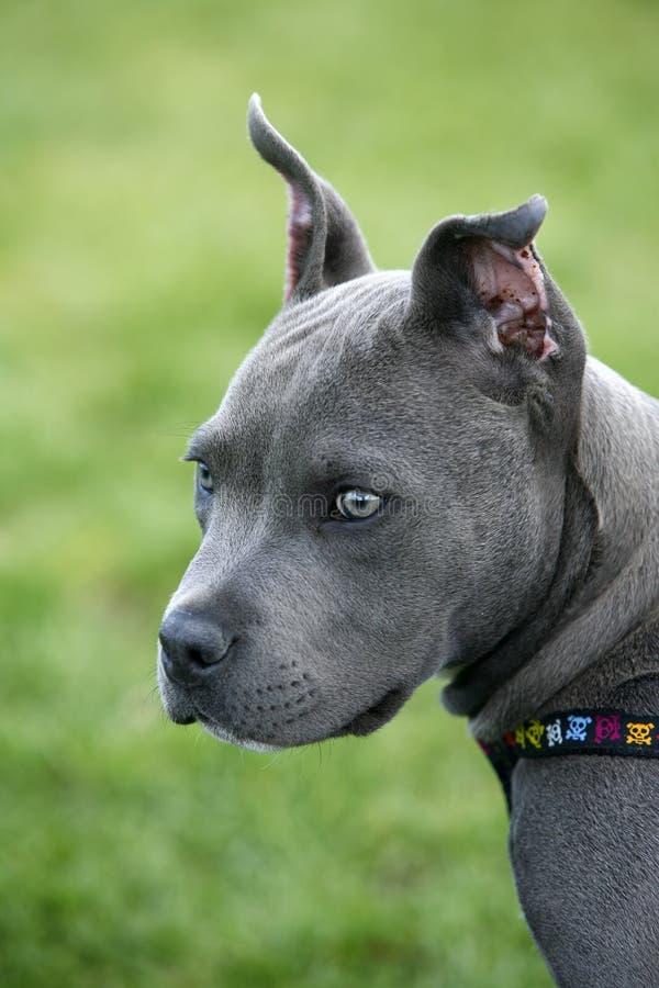 Filhote de cachorro do pitbull. fotografia de stock royalty free
