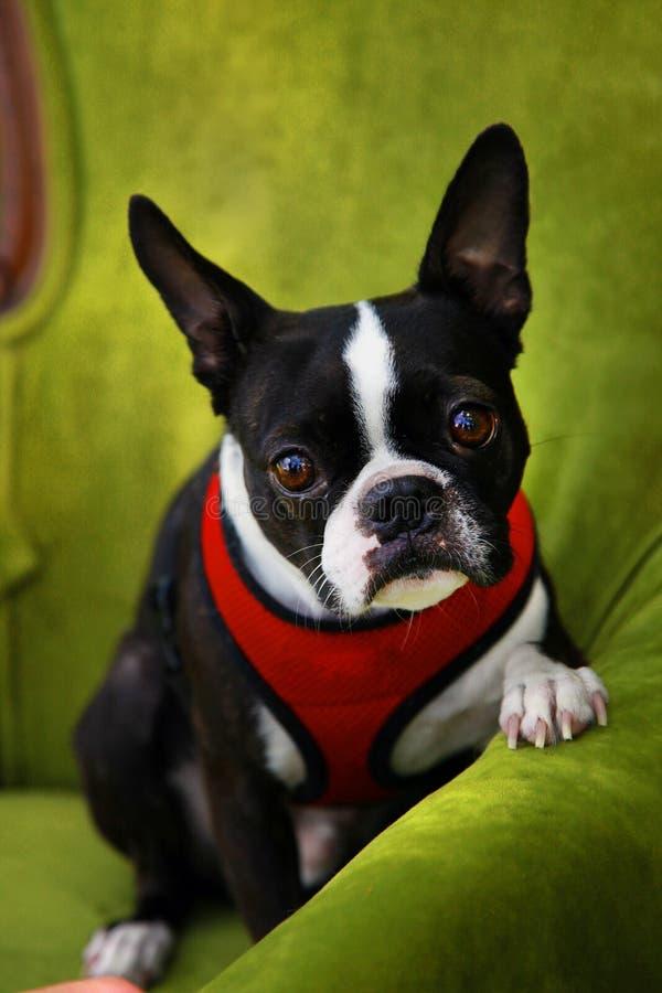 Filhote de cachorro do Pug foto de stock