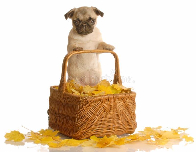 Filhote de cachorro do Pug na cesta com folhas imagens de stock royalty free