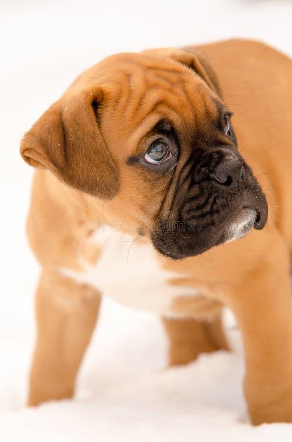 Filhote de cachorro do pugilista imagem de stock royalty free