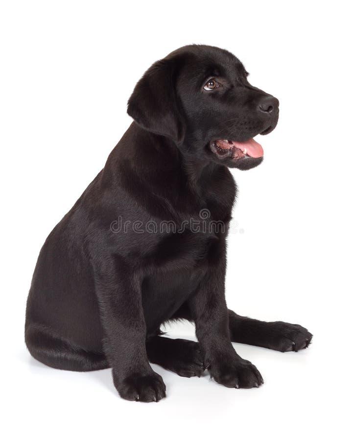 Filhote de cachorro do Retriever de Labrador do Preto-Chocolate foto de stock royalty free