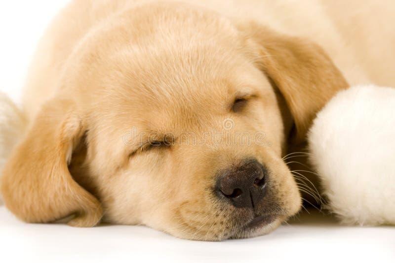Filhote de cachorro do retriever de Labrador que dorme perto de uma esfera da pele fotografia de stock