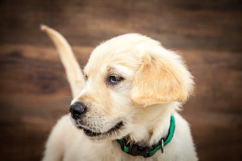Filhote de cachorro do retriever dourado imagem de stock
