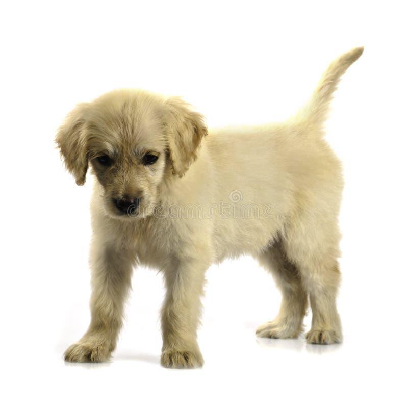 Filhote de cachorro do retriever dourado isolado fotos de stock
