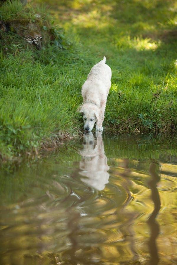 Filhote de cachorro do retriever dourado que bebe do lago fotos de stock royalty free