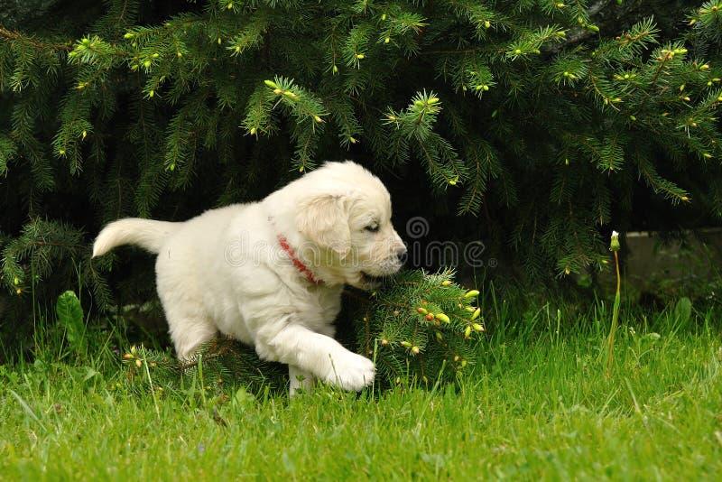 Filhote de cachorro do retriever dourado que joga com árvore conífera fotografia de stock
