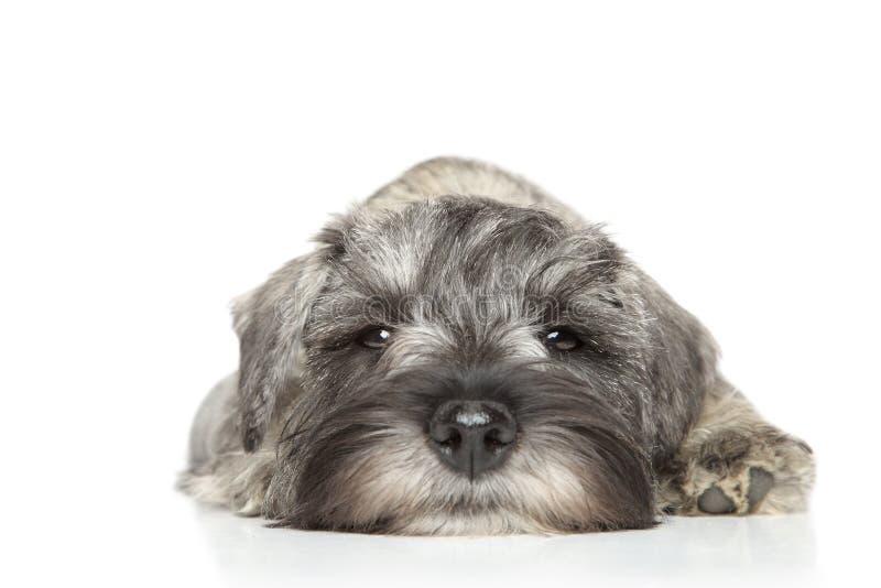 Filhote de cachorro do schnauzer diminuto. Close-up foto de stock royalty free