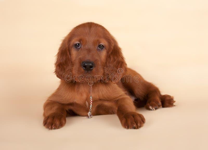 Filhote de cachorro do setter fotos de stock royalty free