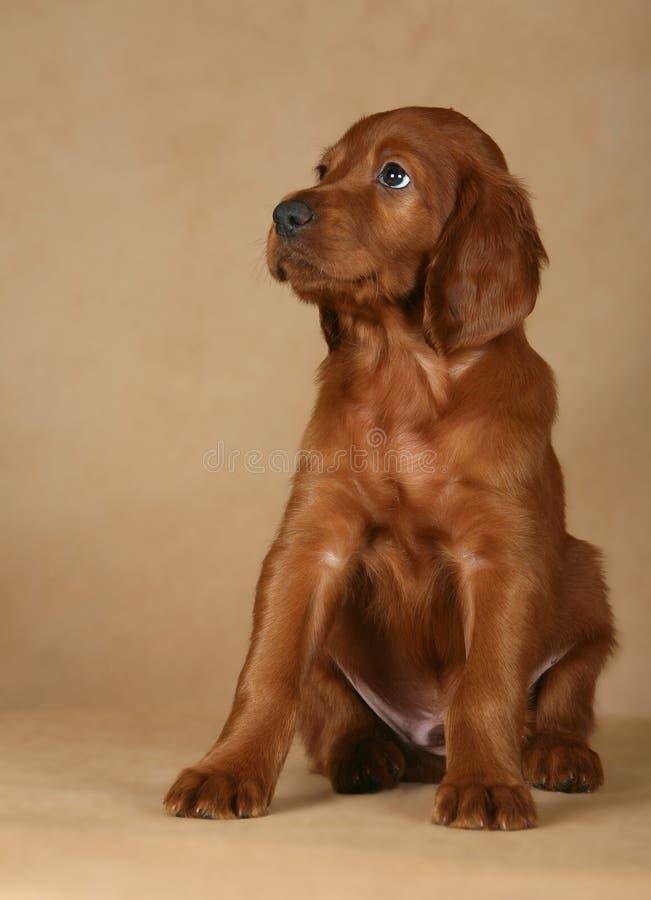 Filhote de cachorro do setter fotografia de stock
