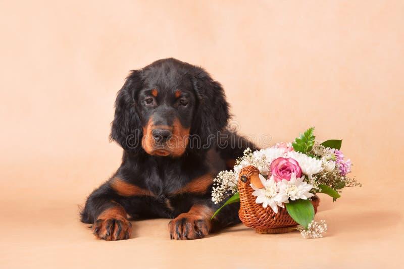 Filhote de cachorro do setter com flores fotografia de stock