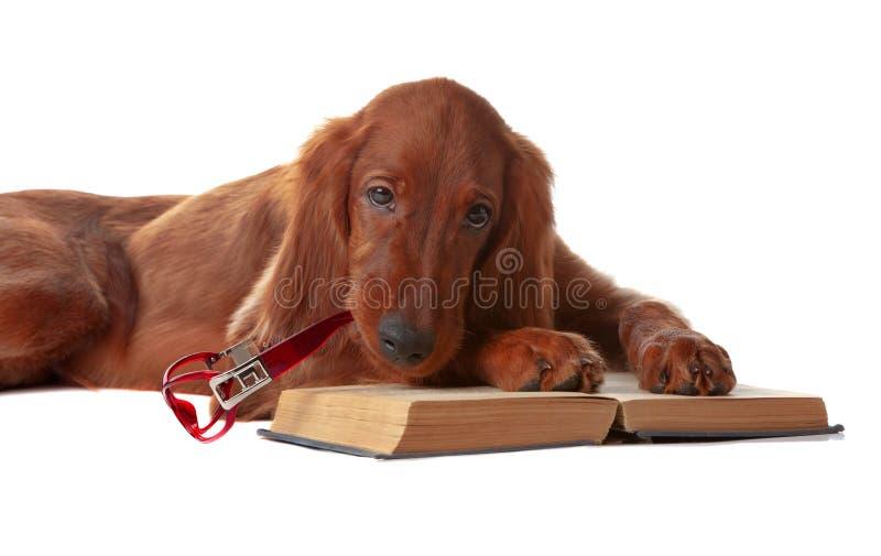 Filhote de cachorro do setter com vidros e livro. Isolado no branco fotografia de stock