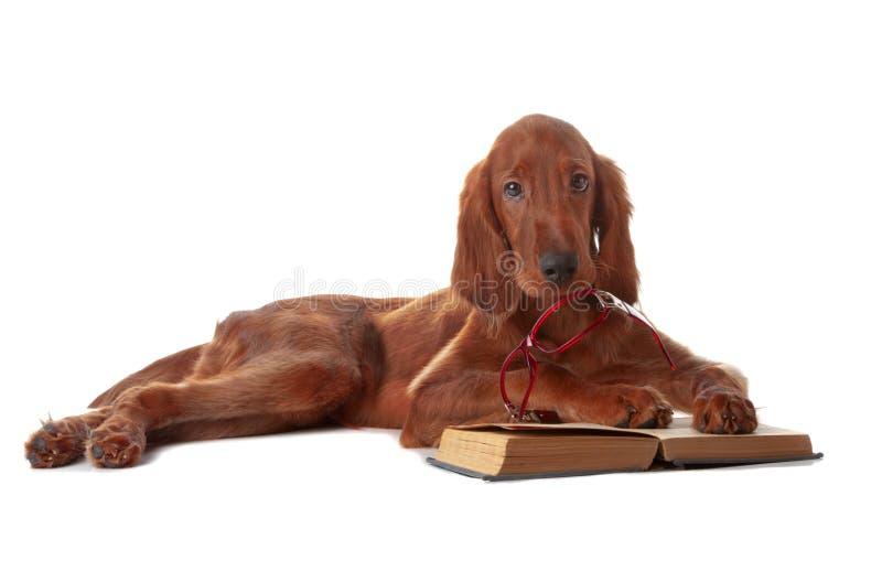 Filhote de cachorro do setter com vidros e livro. Isolado no branco imagem de stock royalty free