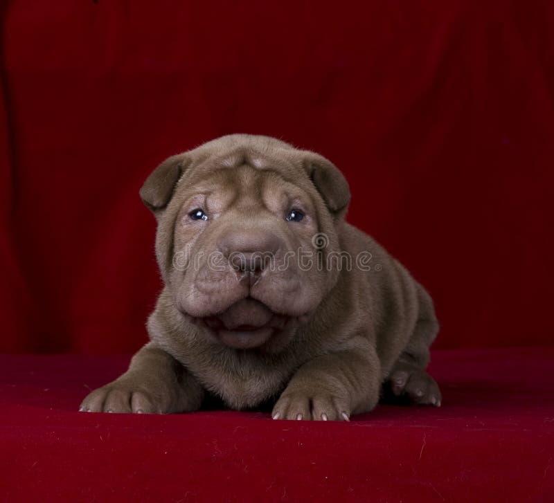 Download Filhote De Cachorro Do Sharpei Do Chocolate Imagem de Stock - Imagem de cute, chocolate: 16870351